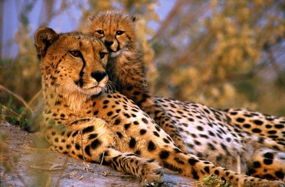 Is it a cheetah ? (Est-ce un Guépard ?)