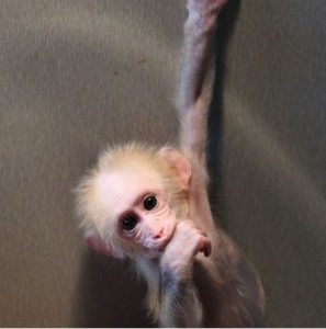 """Des singes rendus """"autistes"""" par manipulation génétique ? Pas exactement... (SciencesEtAvenir, janvier 2016)"""